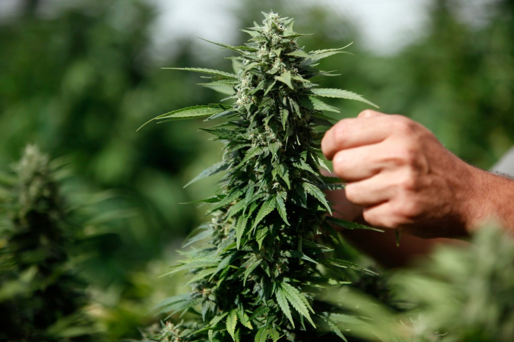 Сбор дикой марихуаны енот и марихуана